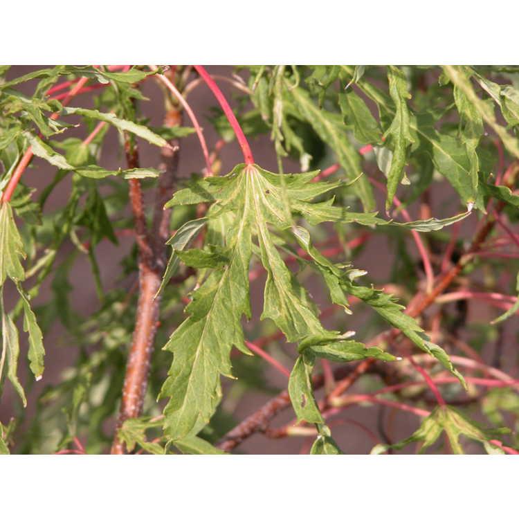 Acer saccharinum 'Born's Gracious'