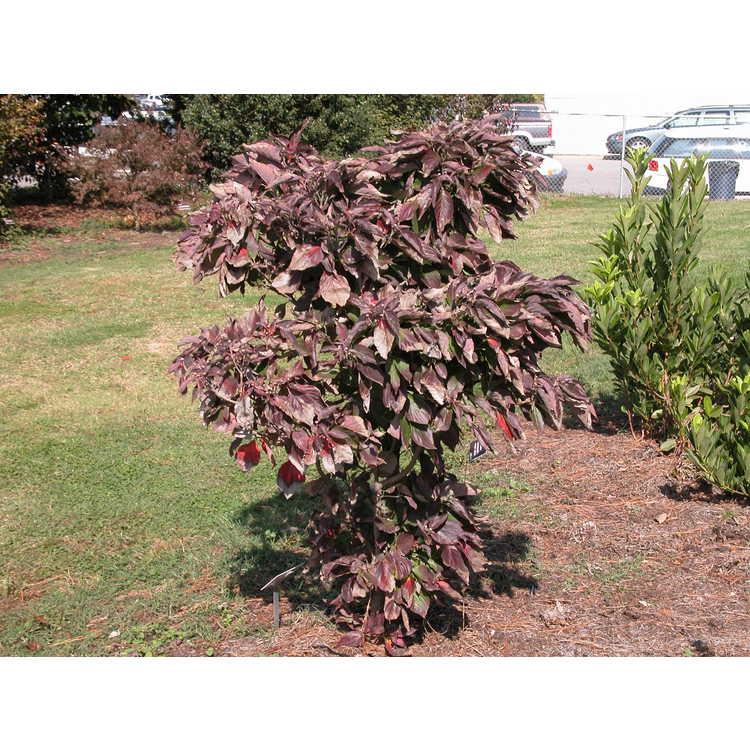 Cornus-florida-Pygmaea-001-10-04.JPG
