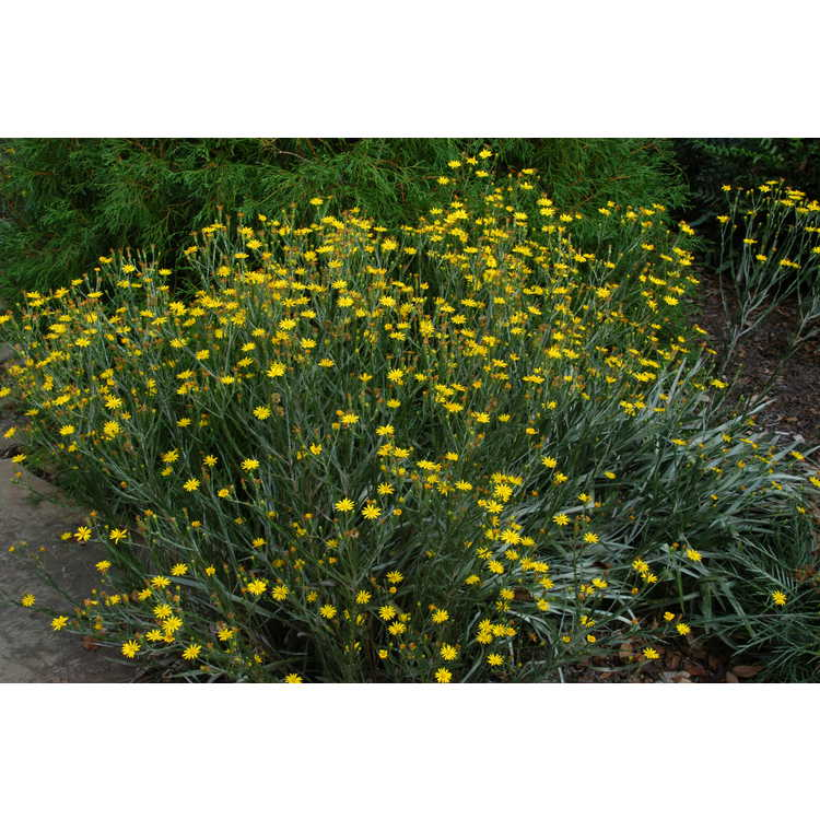 Pityopsis graminifolia - narrowleaf silk-grass