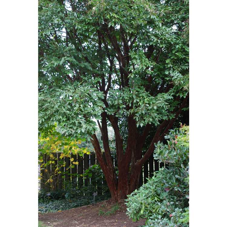 Lagerstroemia fauriei 'Townhouse' - Japanese crepe myrtle