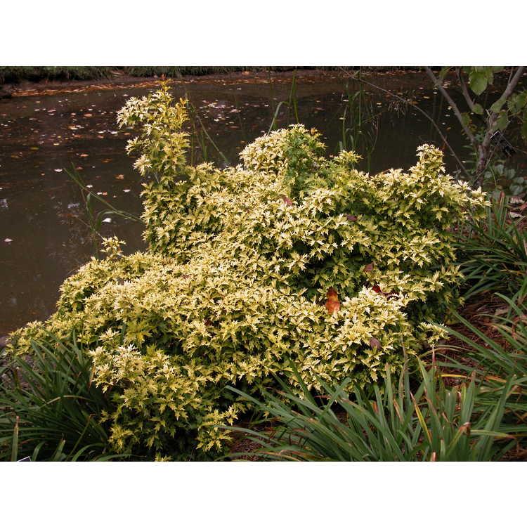 Osmanthus heterophyllus 'Ogon' - golden holly tea-olive