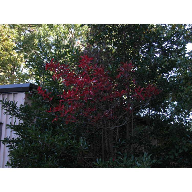Viburnum odoratissimum var. awabuki - evergreen viburnum
