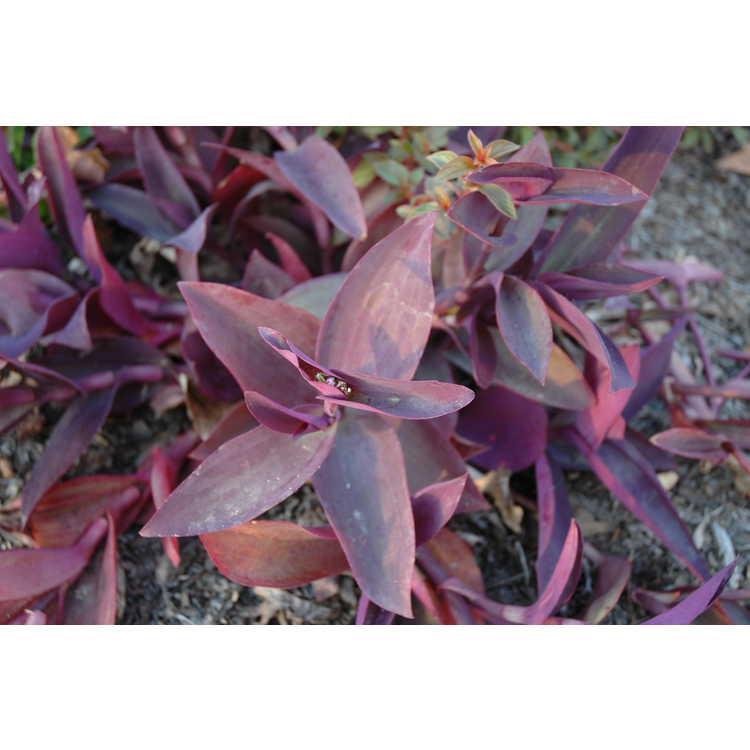 Tradescantia pallida 'Kartuz Giant' - big-leaf purple heart tradescantia
