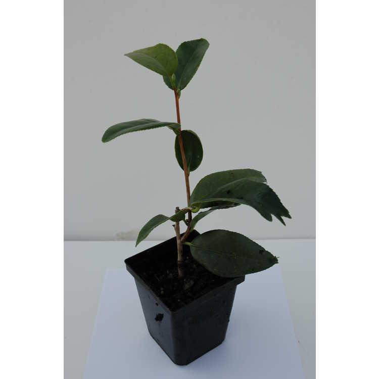 Camellia japonica 'Quercifolia' - fish-tail Japanese camellia