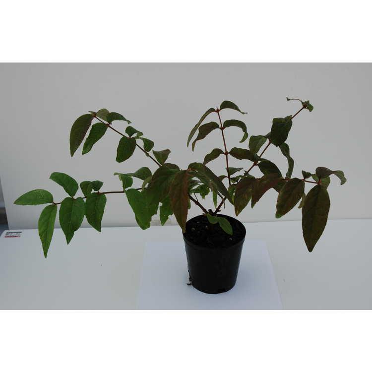 Deutzia ×hybrida 'Strawberry Fields'