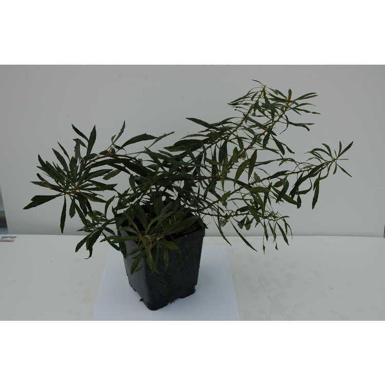 Morella cerifera var. pumila 'Willow Leaf'