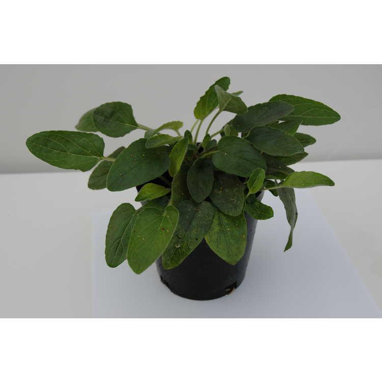 Prunella grandiflora subsp. pyrenaica