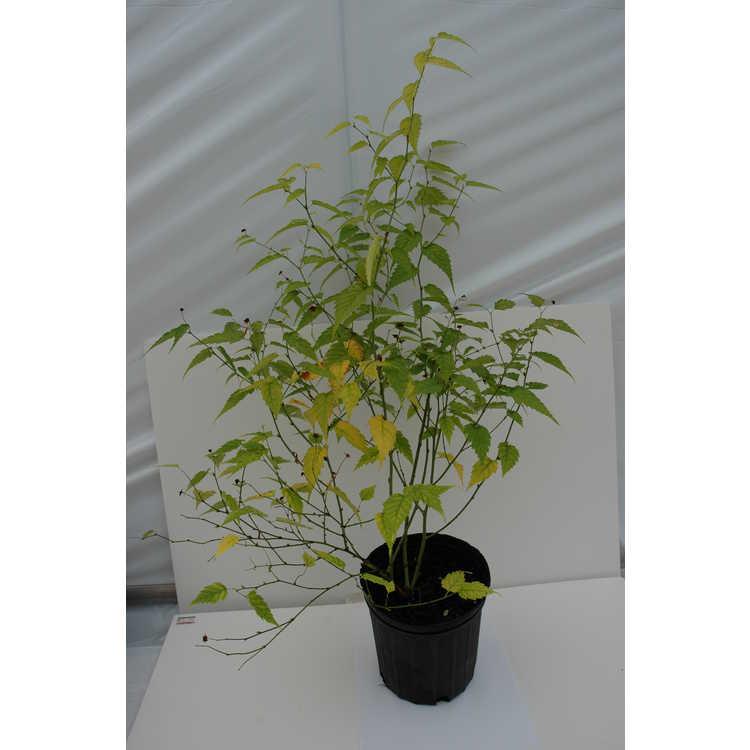 Kerria japonica 'Chiba Gold' - gold-leaf Japanese kerria
