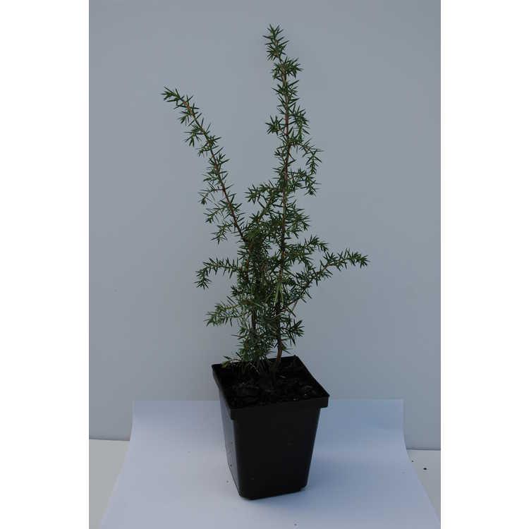 Juniperus communis 'Pendula'