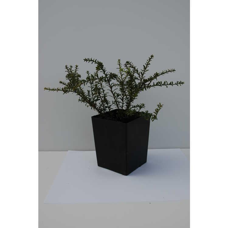 Podocarpus nivalis 'Bronze'
