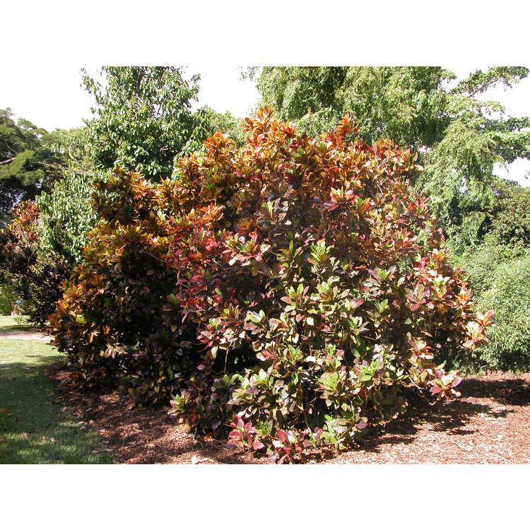 Codiaeum-variegatum-Stewartii-001-FTG-11-04.JPG