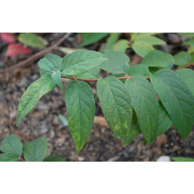 Deutzia ×hybrida 'Strawberry Fields' - pink deutzia