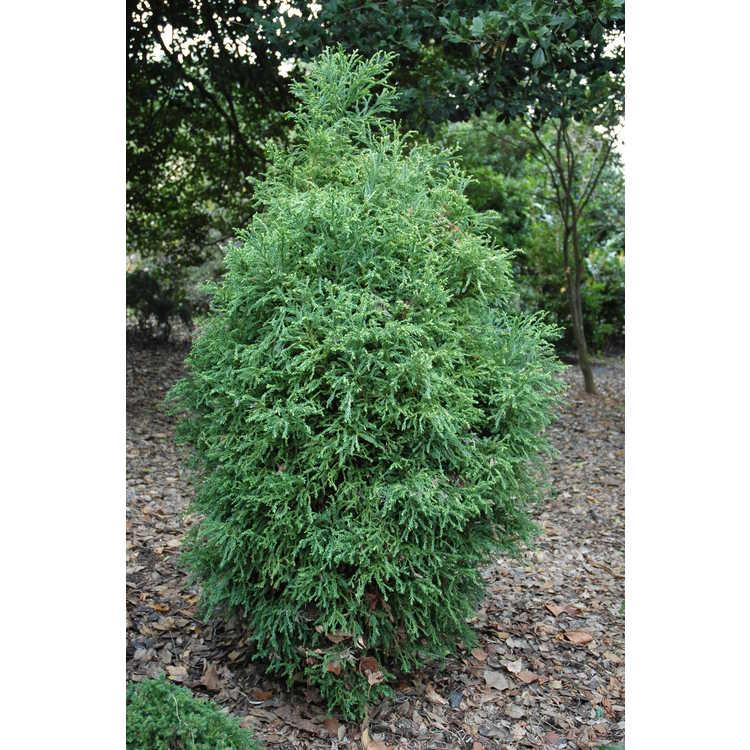 Cryptomeria japonica 'Mejiro' - variegated Japanese-cedar