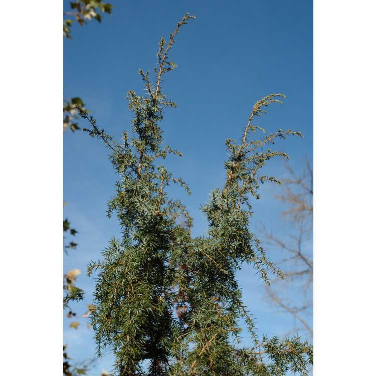 Juniperus communis 'Pendula' - weeping common juniper