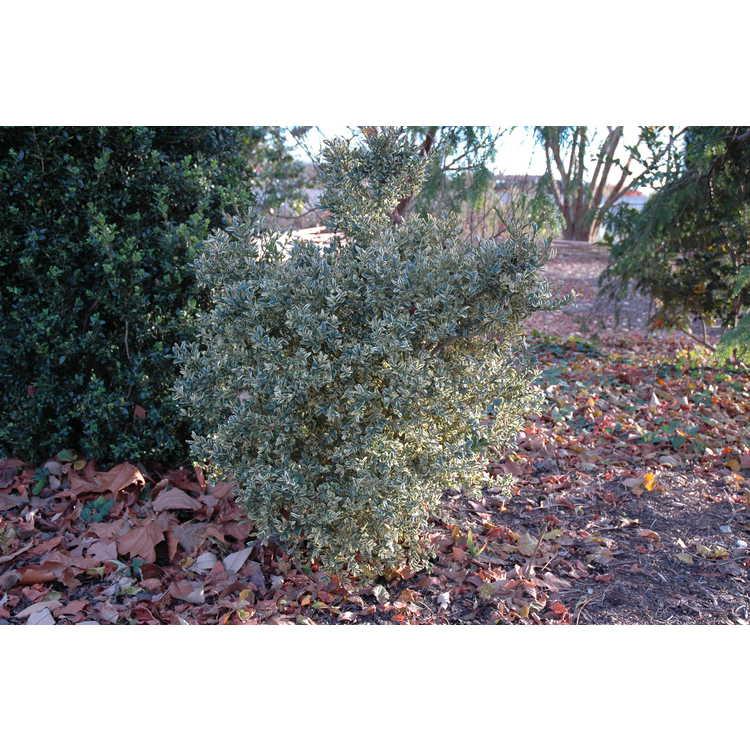 Buxus sempervirens 'Argenteovariegata'