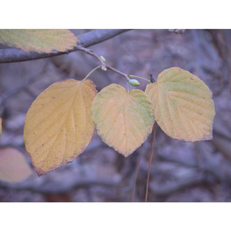 Corylopsis-spicata-001-NBG-12-04.JPG