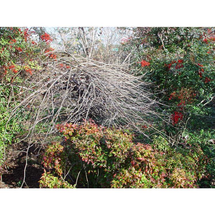 Gleditsia triacanthos f. inermis 'Emerald Kascade' - weeping thornless honeylocust