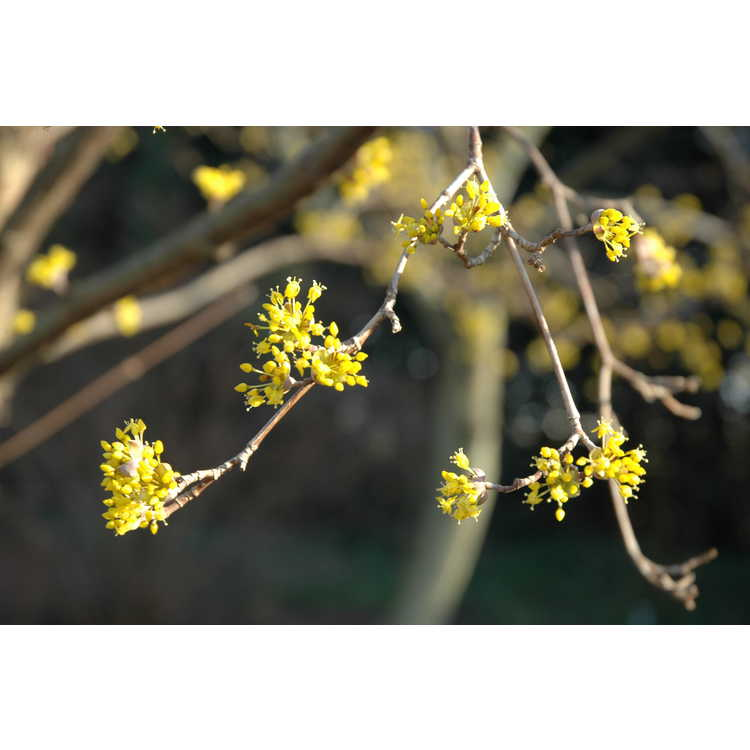 Cornus officinalis - Japanese cornel