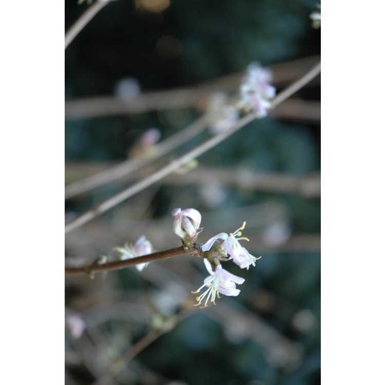 Lonicera standishii - Standish's honeysuckle