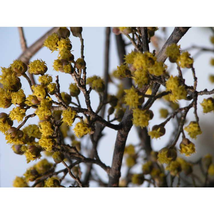 Cornus-officinalis-002-NBG-2-05.JPG