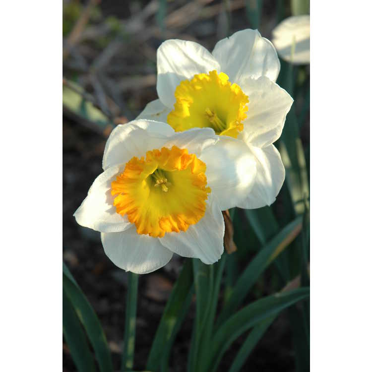 Narcissus 'Sound' - large-cupped daffodil