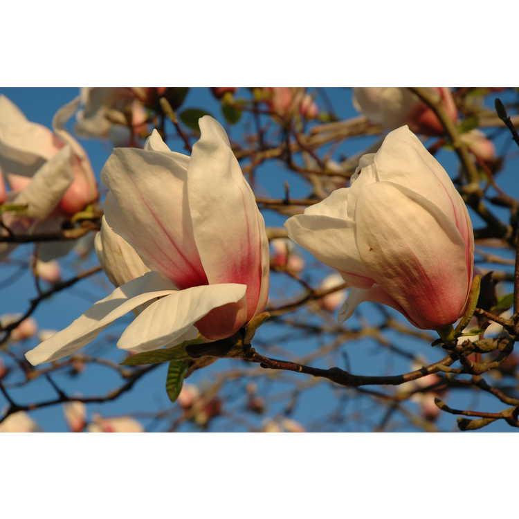 Magnolia 'Jon Jon' - Gresham hybrid magnolia