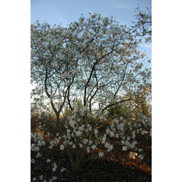 Magnolia stellata 'Waterlily' - many-petalled star magnolia