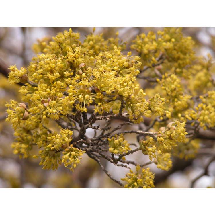 Cornus-officinalis-003-NBG-3-05.JPG