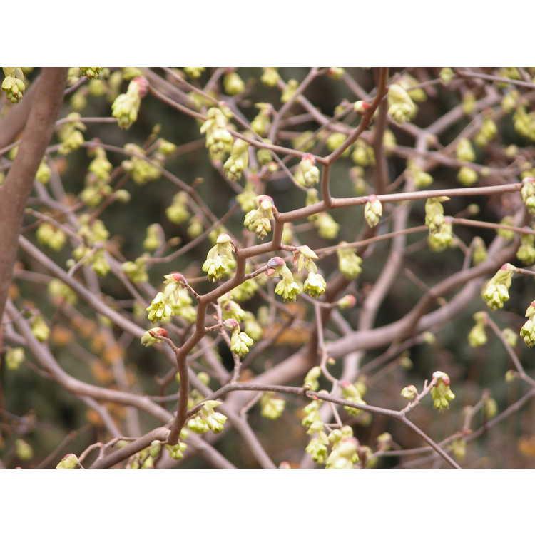 Corylopsis-pauciflora-001-NBG-3-05.JPG