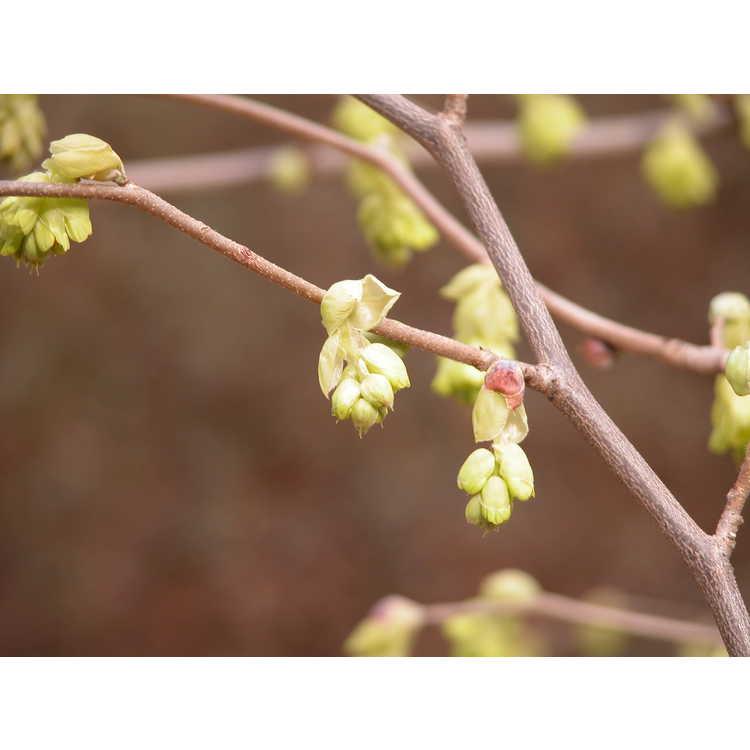 Corylopsis-pauciflora-002-NBG-3-05.JPG