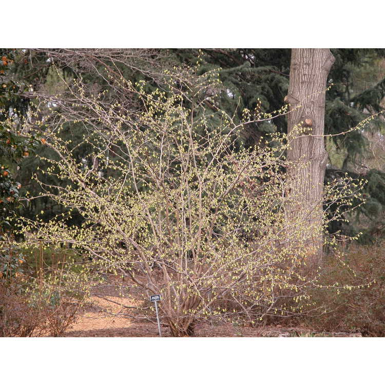 Corylopsis-pauciflora-003-NBG-3-05.JPG