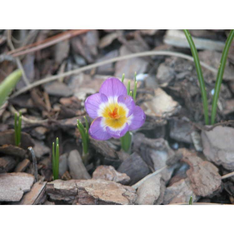 Crocus-sieberi-sspsublimis-Tricolor-001-NBG-3-05.JPG
