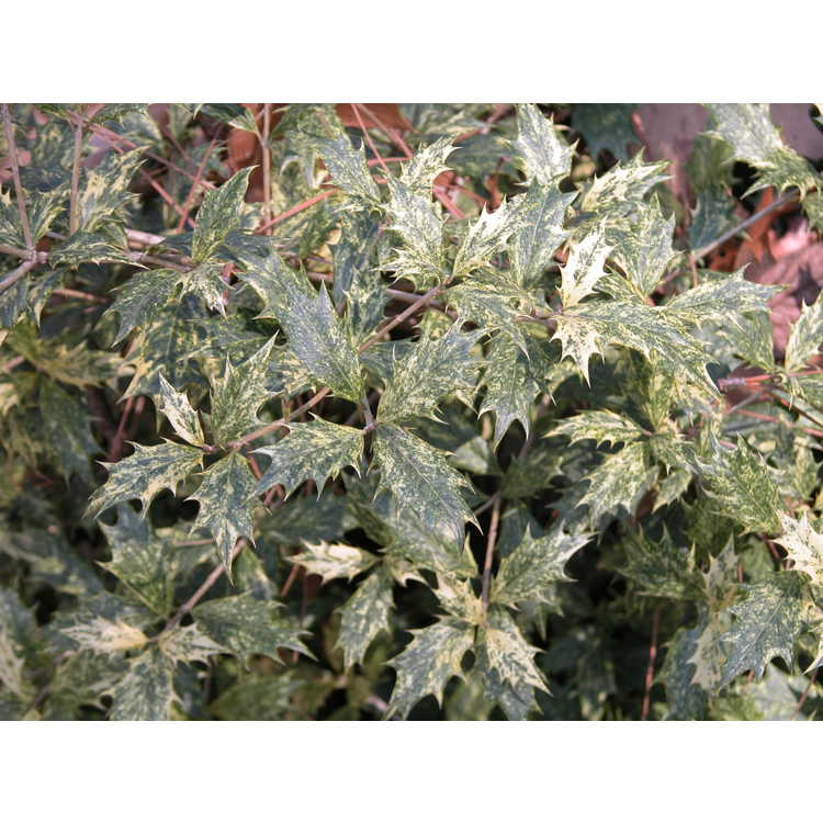 Osmanthus heterophyllus 'Goshiki' - gold-dust holly tea-olive