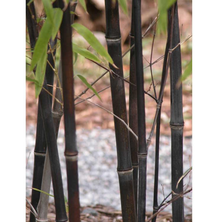 Phyllostachys nigra - black bamboo