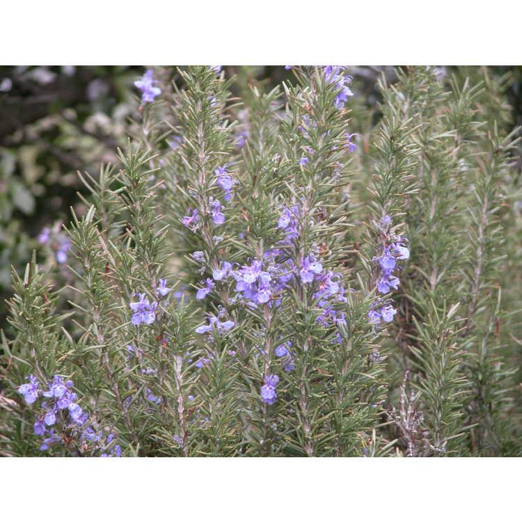 Rosmarinus officinalis 'Tuscan Blue' - rosemary