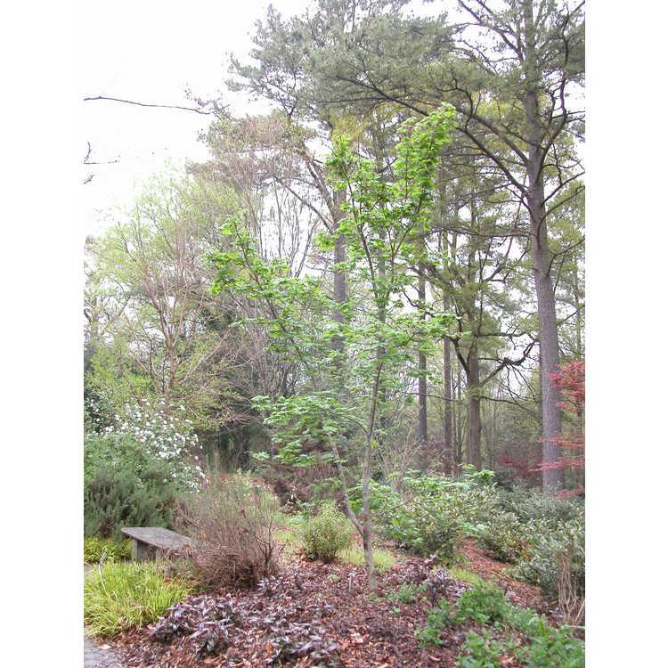 Acer pseudosieboldianum subsp. takesimense