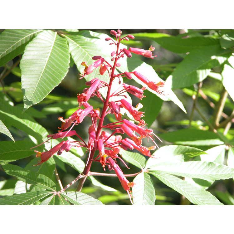 Aesculus pavia - red buckeye