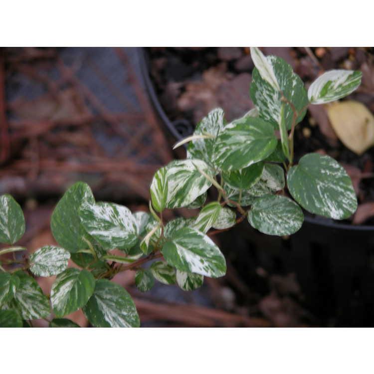 Berchemia-racemosa-variegated-form-001-Nurs-Car-4-05.JPG