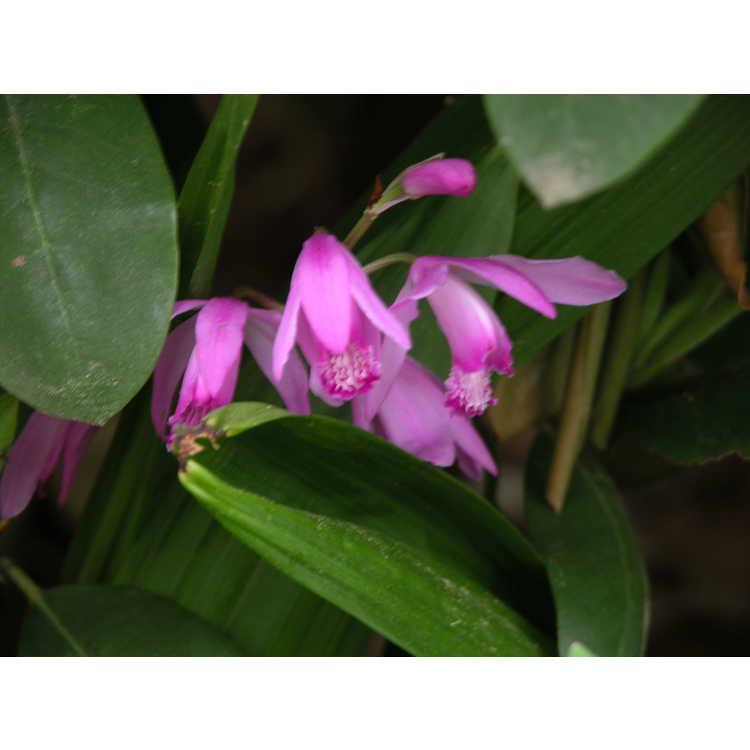 Bletilla striata - Japanese ground orchid