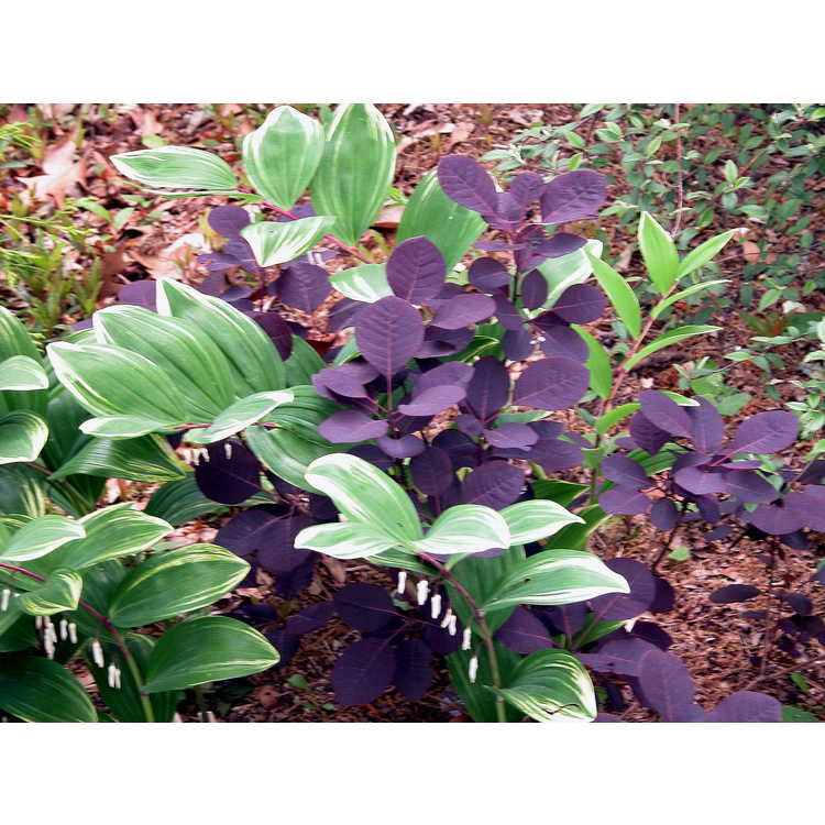 Cotinus-coggygria-Velvet-Cloak-002-Norfolk-4-05.JPG