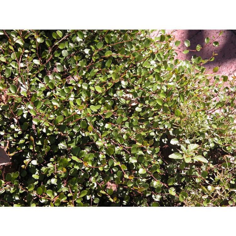 Muehlenbeckia complexa - creeping wirevine