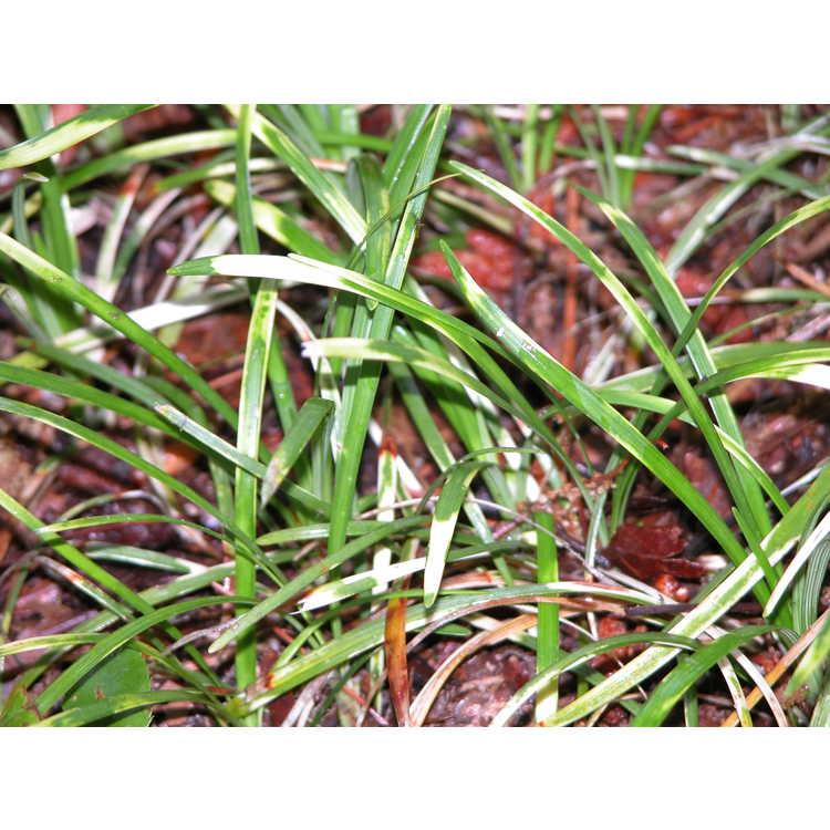 Liriope minor 'Torafu' - zebra mondo grass
