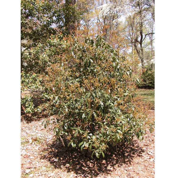 Osmanthus fragrans f. aurantiacus - orange sweet-olive