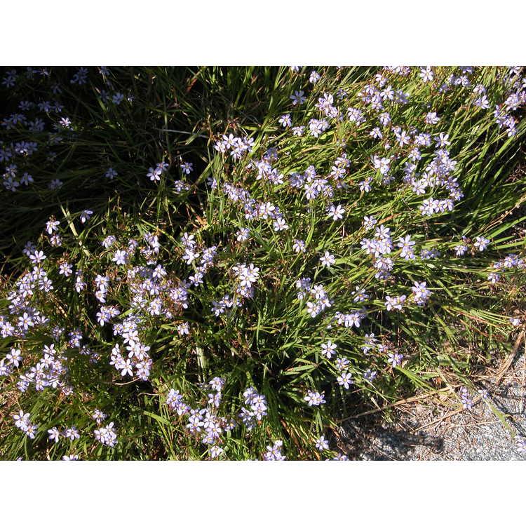 Sisyrinchium angustifolium 'Suwanee'