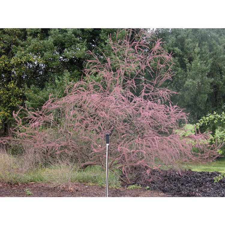 Tamarix ramosissima - tamarisk