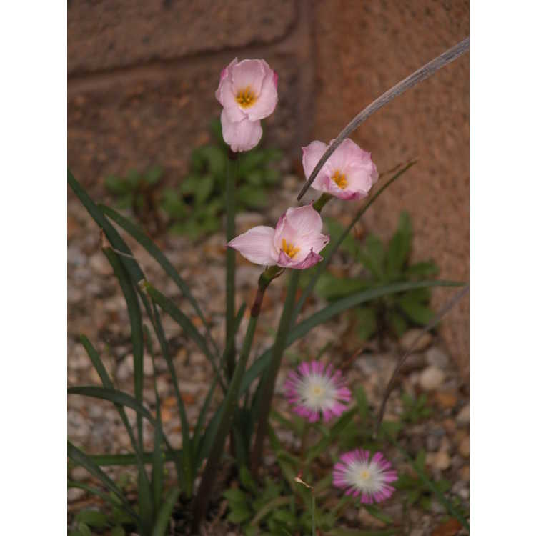 Zephyranthes 'Tenexio Apricot'