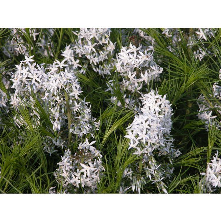 Amsonia hubrichtii - Ozark blue-star