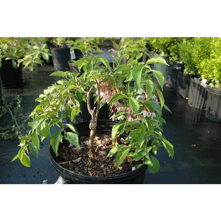 Styrax japonicus Rubra Pendula Group