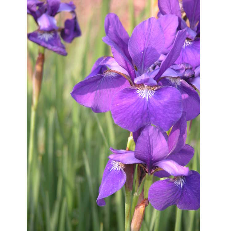 Iris sibirica 'Caesar's Brother'