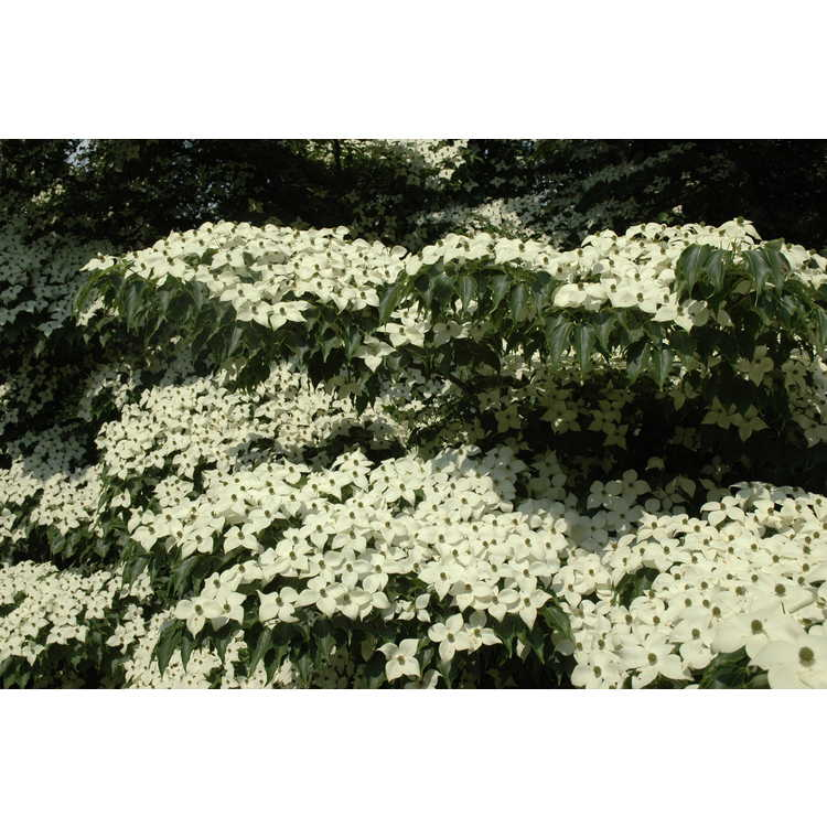 Gotelli Dwarf and Slow-growing Conifer Collection